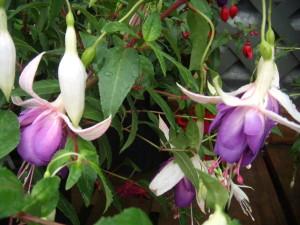 Fuchsia Carmel Blue