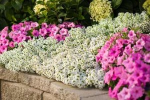 Snow Princess Lobularia and Bubblegum Petunias