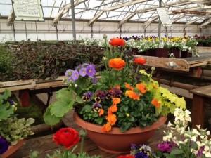 Porch Hardy planter orange Ranunc