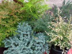 silver tipped conifer